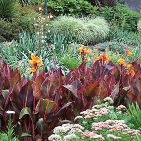 цветок канна в саду фото оформления