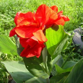 цветок канна в саду идеи оформления