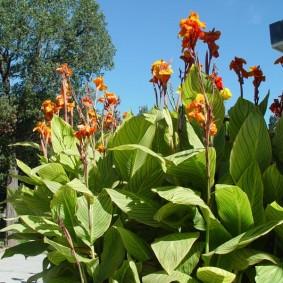 цветок канна в саду варианты фото