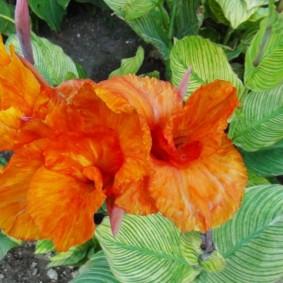 цветок канна в саду идеи вариантов