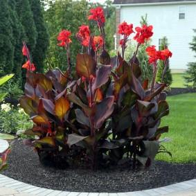 цветок канна в саду фото видов