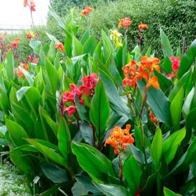 цветок канна в саду идеи фото