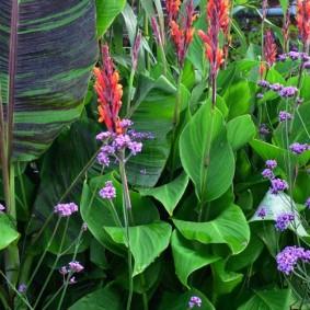 цветок канна в саду обзор фото