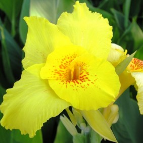 цветок канна в саду обзор идеи