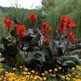 цветок канна в саду варианты декора