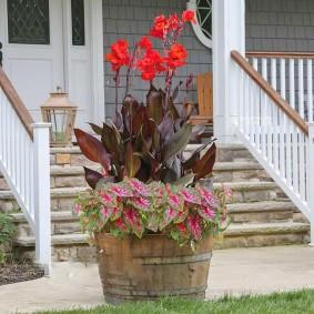 цветок канна в саду фото идеи