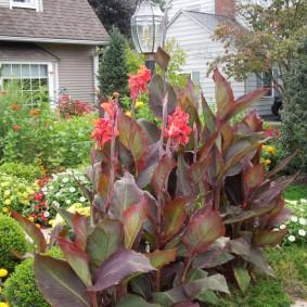 цветок канна в саду дизайн
