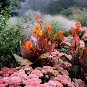 цветок канна в саду фото дизайн