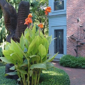 цветок канна в саду фото дизайна