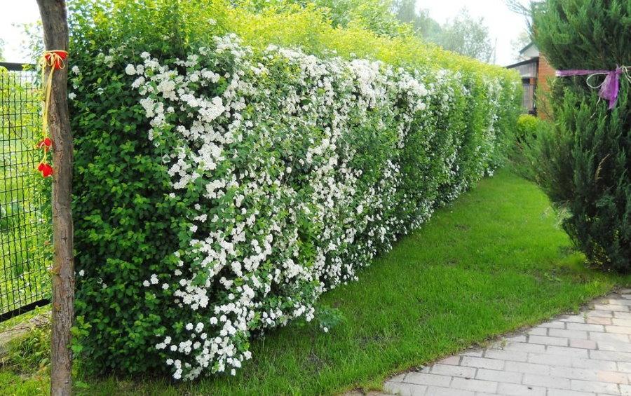 Цветущая изгородь вдоль забора из сетки