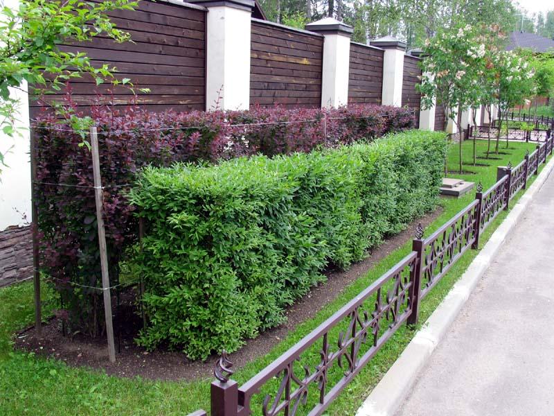 Красивая живая изгородь перед деревянным забором