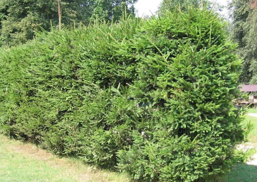 Зеленая стенка из ели обыкновенной на дачном участке