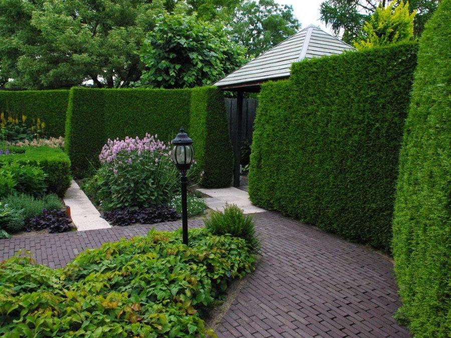 Быстрорастущая живая изгородь на садовом участке
