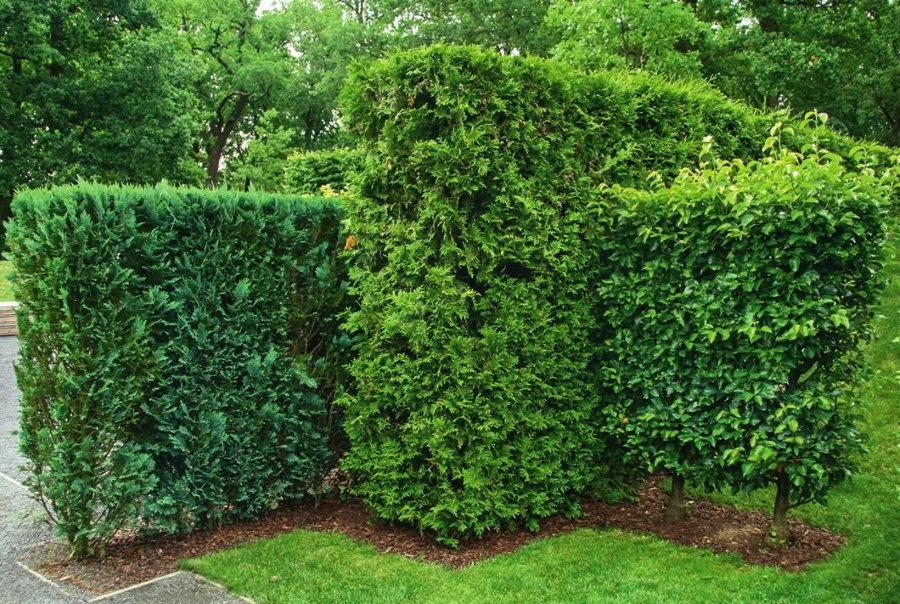 Оригинальная форма живой изгороди в загородном саду