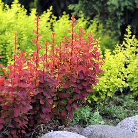 Стебли барбариса сорта Тунберг с красными листьями