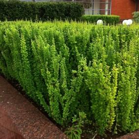 Зеленые кустики гибридного барбариса