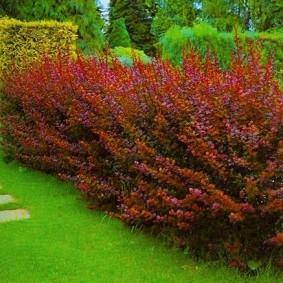 Зеленый газон перед красными кустами барбариса