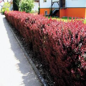 Садовый барбарис вдоль пешеходной дорожки
