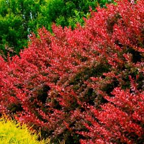 Ярко красная листва на стеблях барбариса