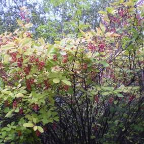 Созревшие ягоды на ветках барбариса