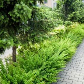 Зеленый барбарис перед хвойными растениями