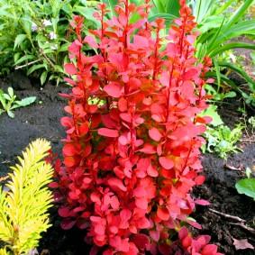 Ярко-красный барбарис на садовой клумбе