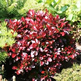 Пурпурные листья барбариса гибридного сорта