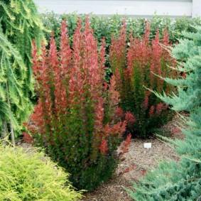 Кустики барбариса между хвойными растениями