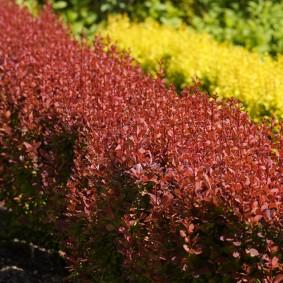 Двухрядная живая изгородь контрастной расцветки