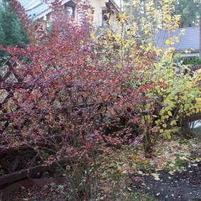 Поздняя осень в саду с барбарисом