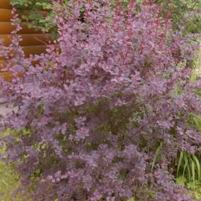 Фиолетовый кустарник перед деревянным домом