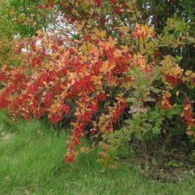 Спелые плоды красного цвета