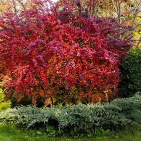 Красивые растения с красной кроной