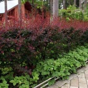 Травянистые растения под кустами барбариса