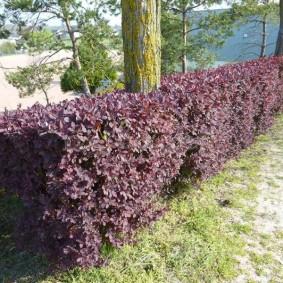 Пурпурный бордюр из декоративного кустарника