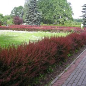 Живая изгородь из барбариса в парке отдыха
