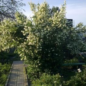 Цветущий куст жасмина на загородном участке