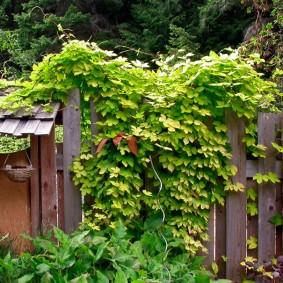 Дикий хмель на деревянном заборчике
