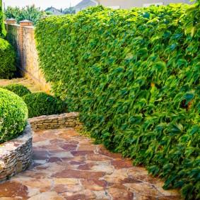 Живая стенка из декоративных кустарников