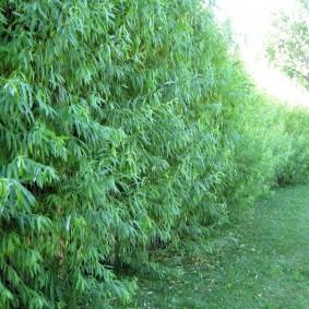 Густая листва на живой стенке из многолетней ивы