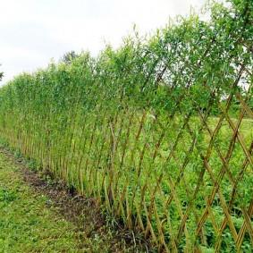 Фото ивовой изгороди в середине лета