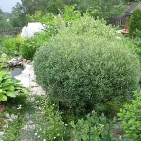 Карликовая ива на садовой клумбе