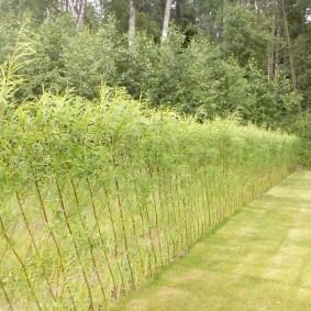Живая ограда на границе земельных участков