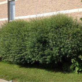 Зеленая стена из дикой ивы