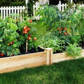 Кустики помидоров на деревянных грядках