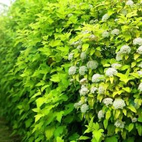 Сочная листва на живой стенке из быстрорастущих растений