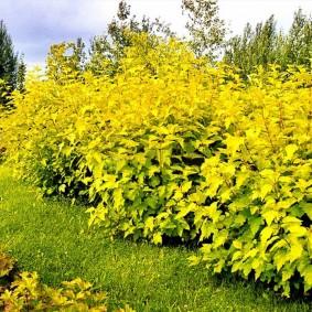 Желтая листва на живой стенке из пузыреплодника