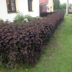 Живая стенка из кустарников у загородного дома