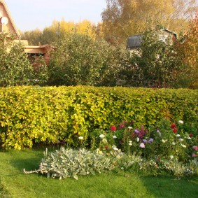 Живая изгородь из растений с желтыми листьями