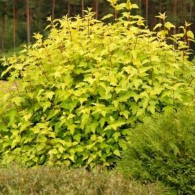 Желто-зеленый куст многолетнего пузыреплодника